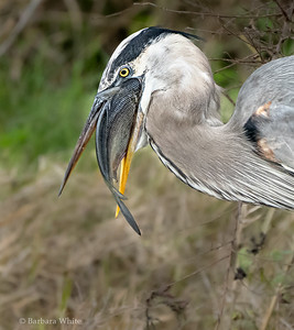 Heron With His Catch