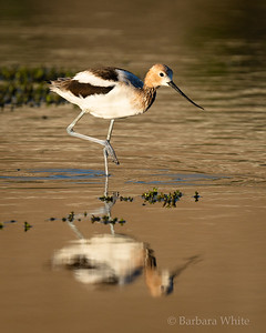 American Avocet with Breeding Colors