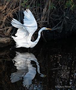 Great Egret Taking Off