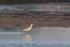 Bar-tailed godwit, Limosa lapponica, Juvenile, Køge, Danmark, Sep 2012