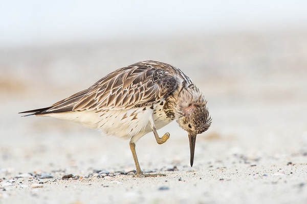 Great Knot ©David Stowe-4222