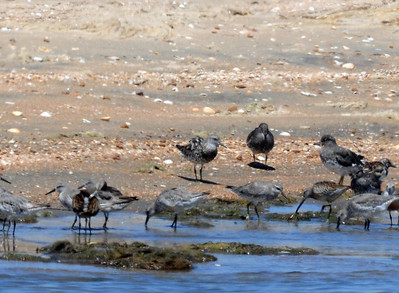 This is the 1st California State Record for this species. Silver Strand, Coronado Naval Amphibious Base 08/27/2009. It's the bird in the center, sorry for the poor images.