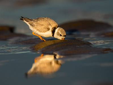Piping plover adults