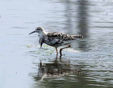 Ruff still with some breeding plumaged feathers on his breast. Famosa Slough, San Diego, CA 07/13/2012