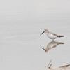 Curlew Sandpiper