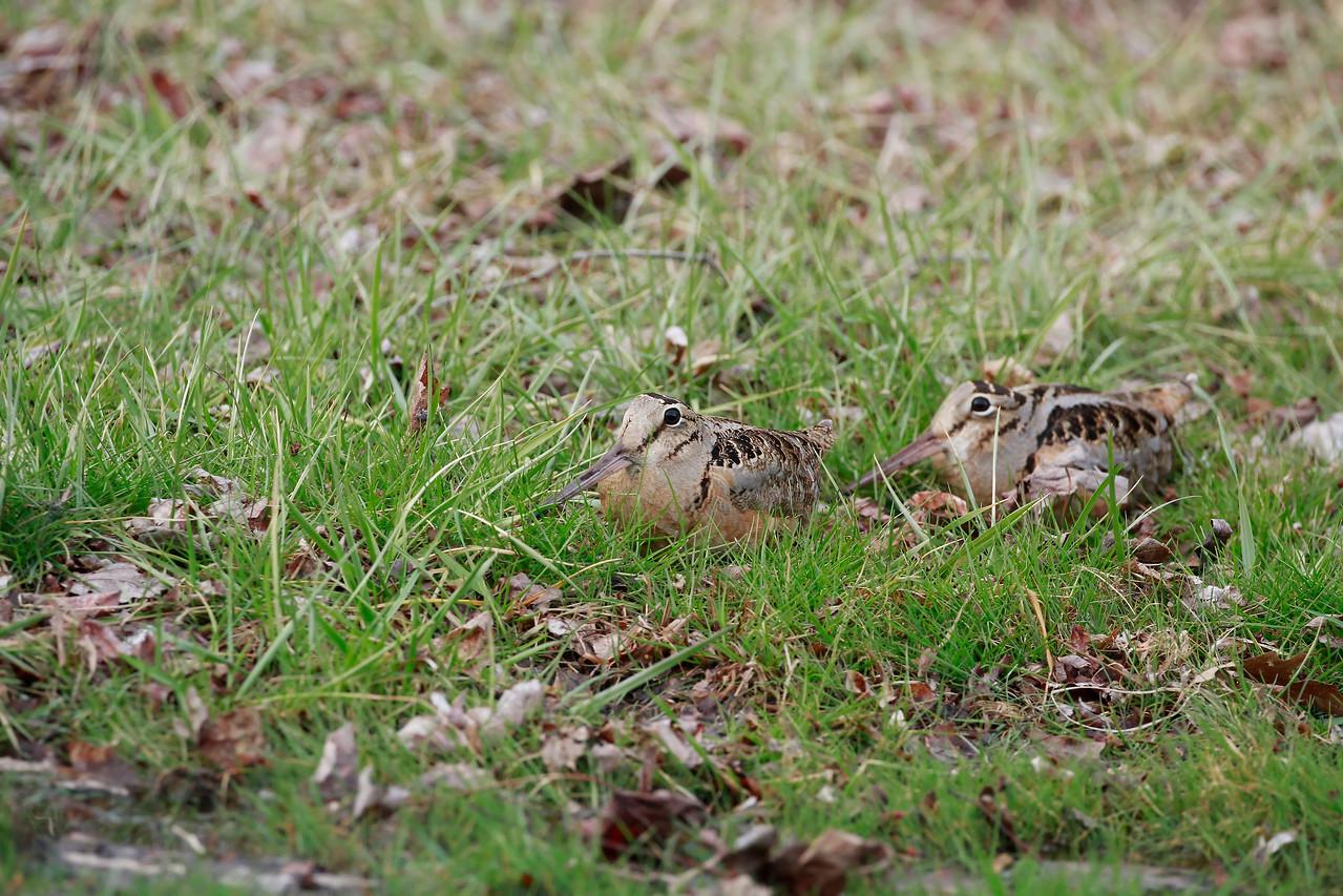 American Woodcocks