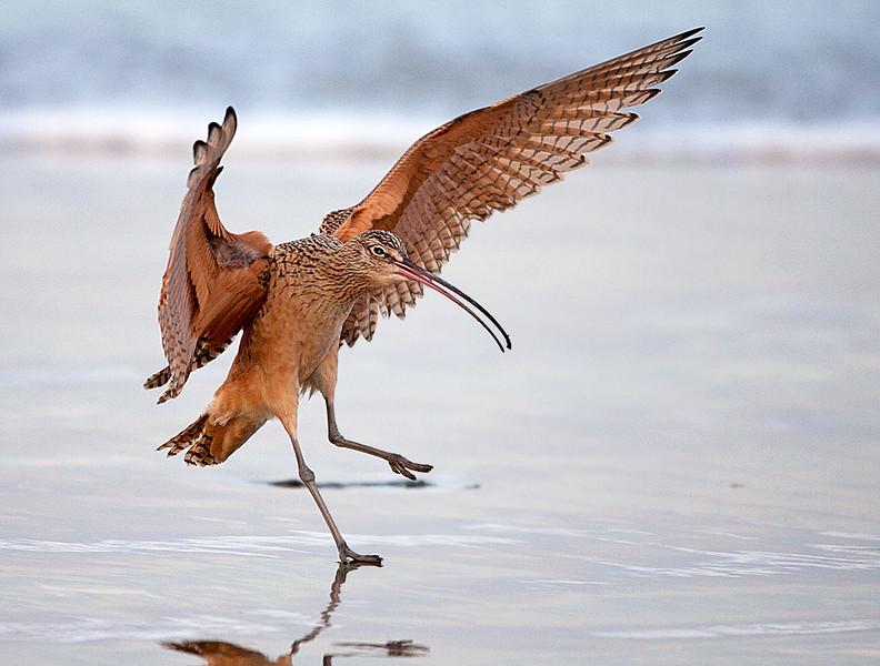 Long billed Curlew Landing