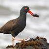 Black Oystercatcher Carrying a Mussel