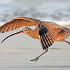 Long billed Curlew Running for Takeoff