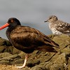 Black Oystercatcher and Surfbird