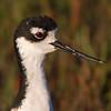 Black necked Stilt Portrait