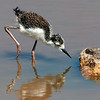 Black necked Stilt Chick