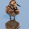 Least or Western Sandpiper