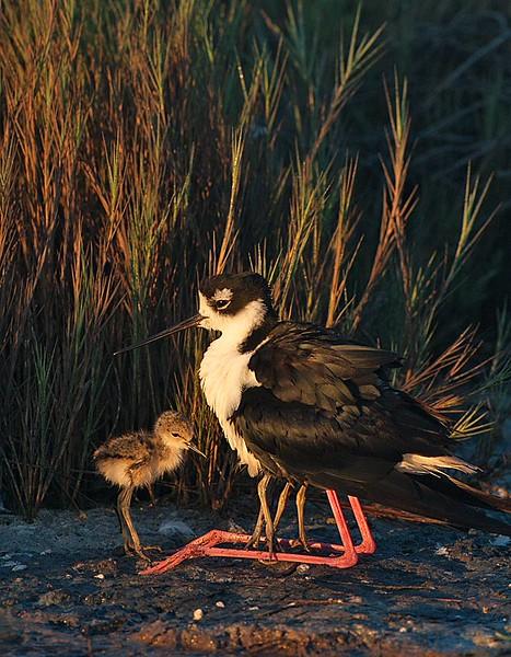 Black necked Stilt Adult and Three Chicks