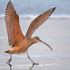 Long billed Curlew Just Landed