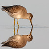 Dowitcher Reflection