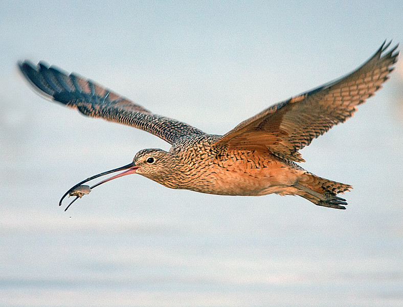 Long billed Curlew with Sand Crab