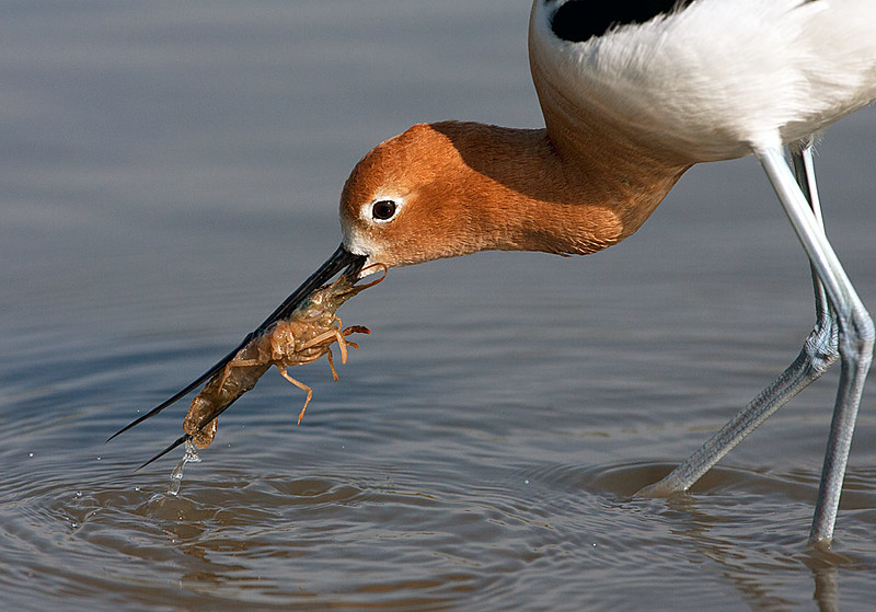 American Avocet with Crayfish