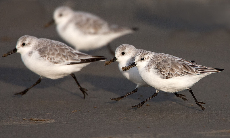 Sanderlings Running on the Beach