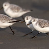 Sanderlings Running on the Beach