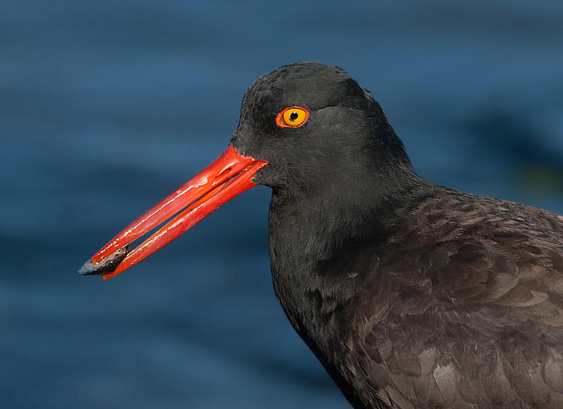 Black Oystercatcher with Mollusk