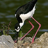 Black necked Stilt on nest