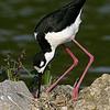 Black necked Stilt on nest