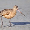 Marbled Godwit with Damaged Leg