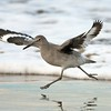 Willet Running and Showing its Wing Patterns