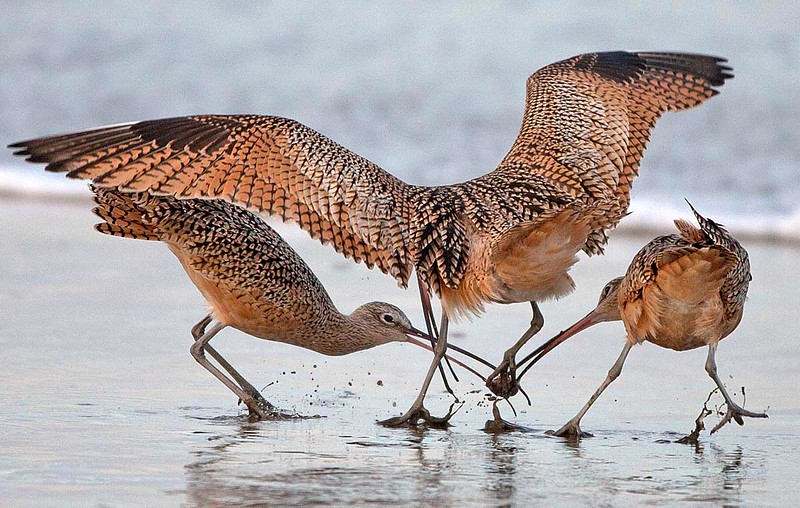 Long billed Curlew Fighting over a Sand Crab