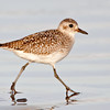Black bellied Plover