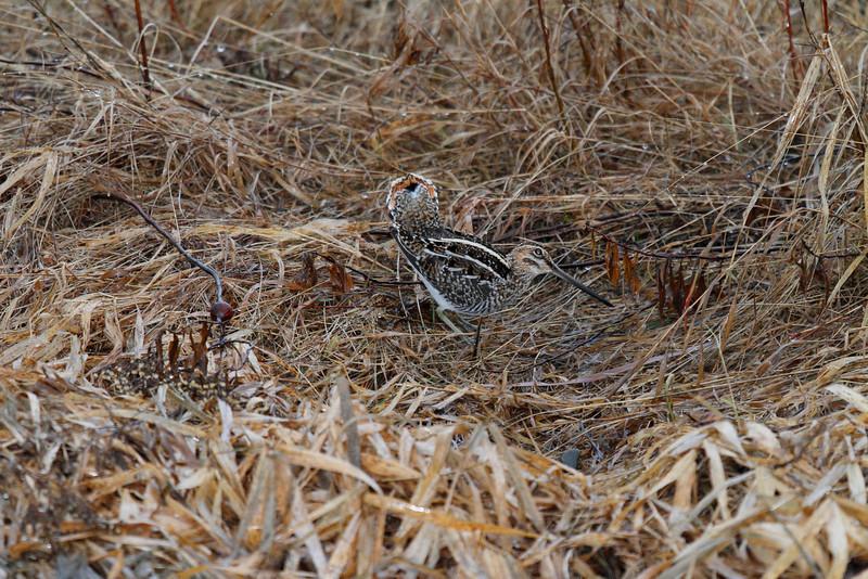 Snipe Displaying in Mating Season