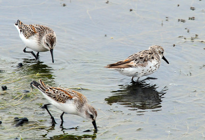 Two Western Sandpipers on the left, unknown on the right. Could be juv. Bairds, wierd juv Western or ???