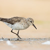 White-rumped Sandpiper_DStowe_0746