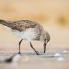 White-rumped Sandpiper_DStowe_0515