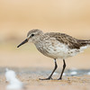 White-rumped Sandpiper_DStowe_0658