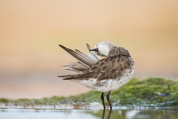 White-rumped Sandpiper_DStowe_0917
