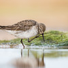 White-rumped Sandpiper_DStowe_0864