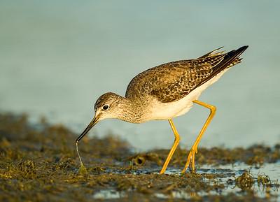 lesser yellow-leg