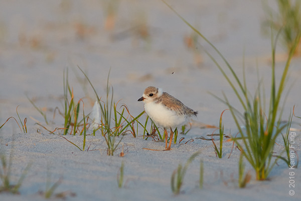 3 July: Piping Plover chick