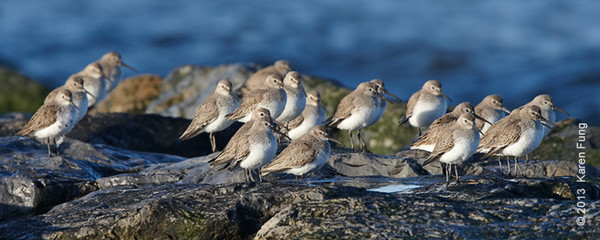 6 April: Dunlin at Point Lookout