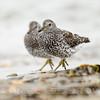 SURFBIRDS, breeding plumage