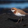 Greater Sand Plover (Charadrius leschenaultii)