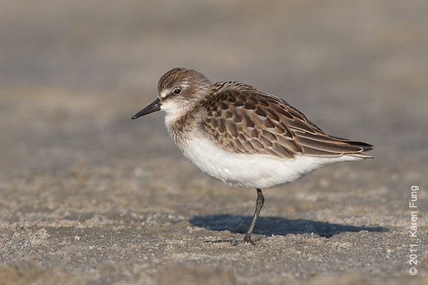 1 September: Semipalmated Sandpiper at Nickerson Beach