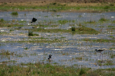 Black-necked stilt wading in a marshland.  Photo by Scott Root, Utah Division of Wildlife Resources.