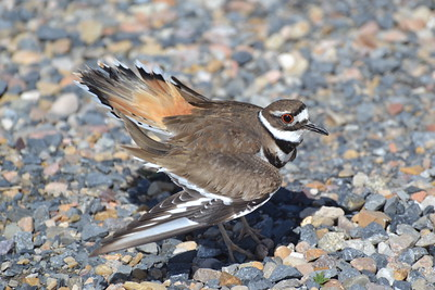 Utah killdeer.