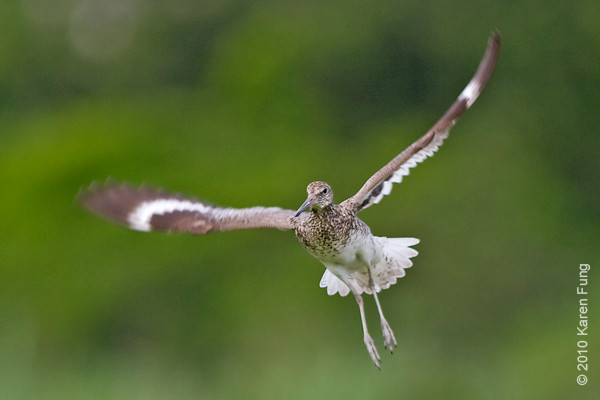 13 June: Willet in flight at the  Oceanside Marine Nature Study Area