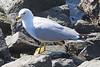 Gull6087