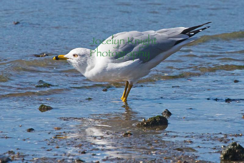 Gull6085