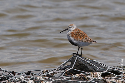 May 24th: Dunlin at Tiana Beach
